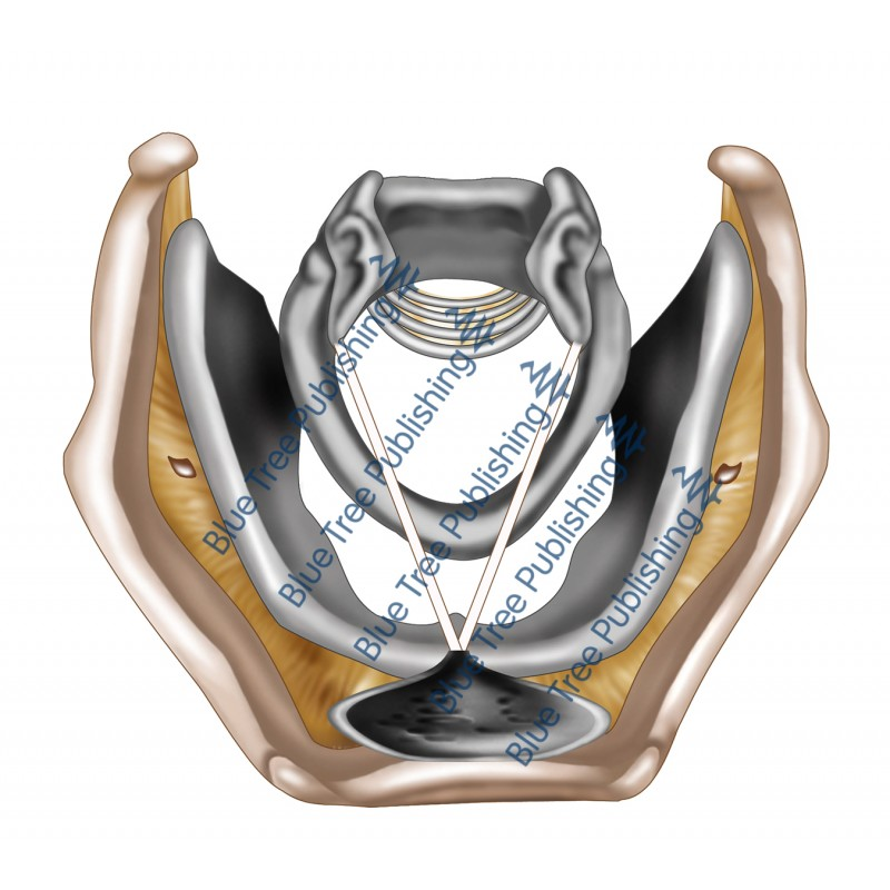 Larynx Cartilage Top View - Download Image