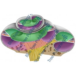 Hearing Cochlea Angled Cross Section - Download Image