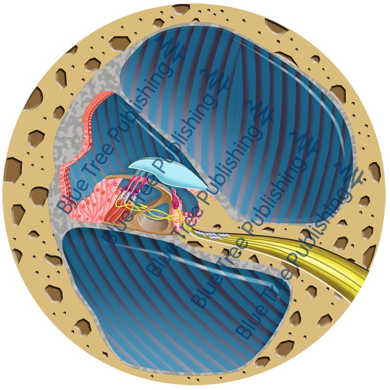 Hearing Cochlea Cross Section - Download Image