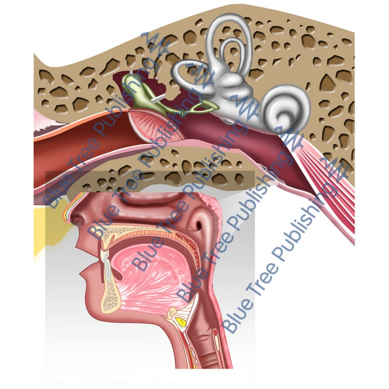 Larynx Front Nerves Thyroid Blood View - Download Image