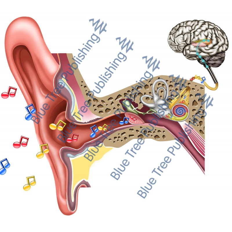 Hearing Normal Ear Process Ear - Download Image
