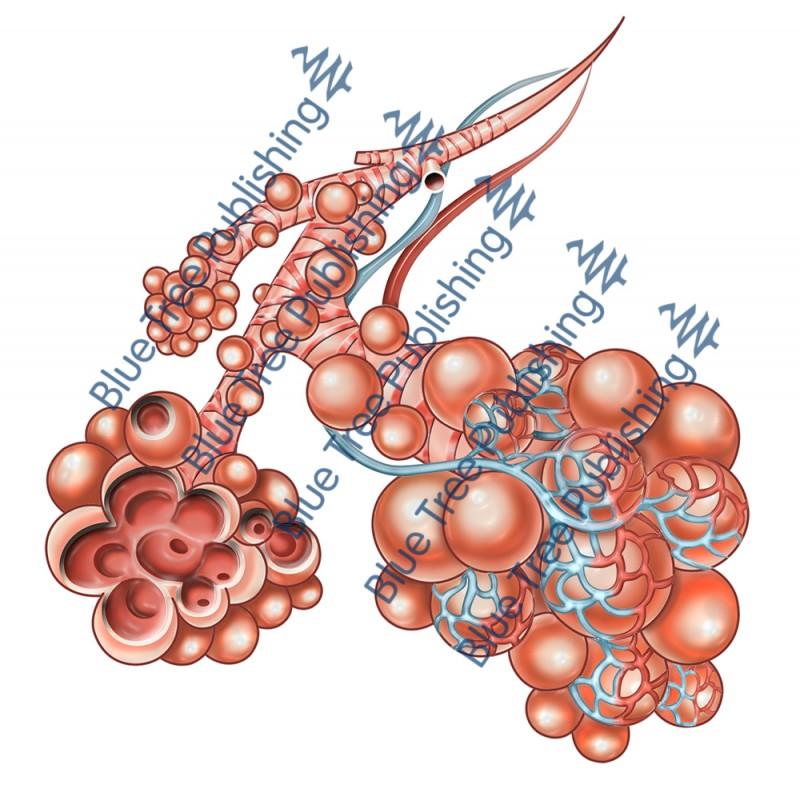 Respiration Alveoli - Download Image