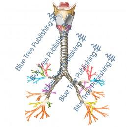 Respiration Bronchi - Download Image