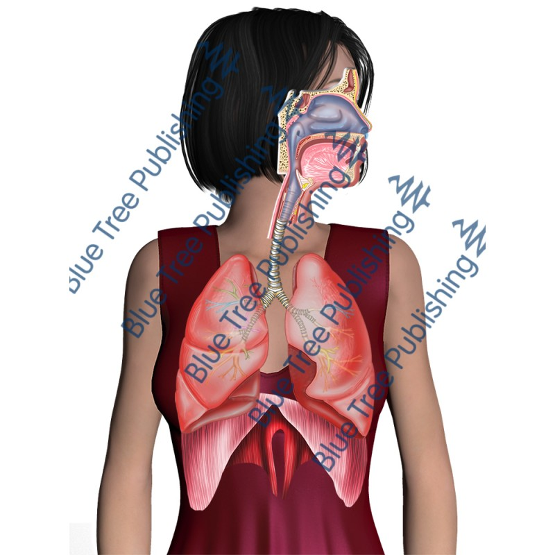 Respiration Breathe Body - Download Image