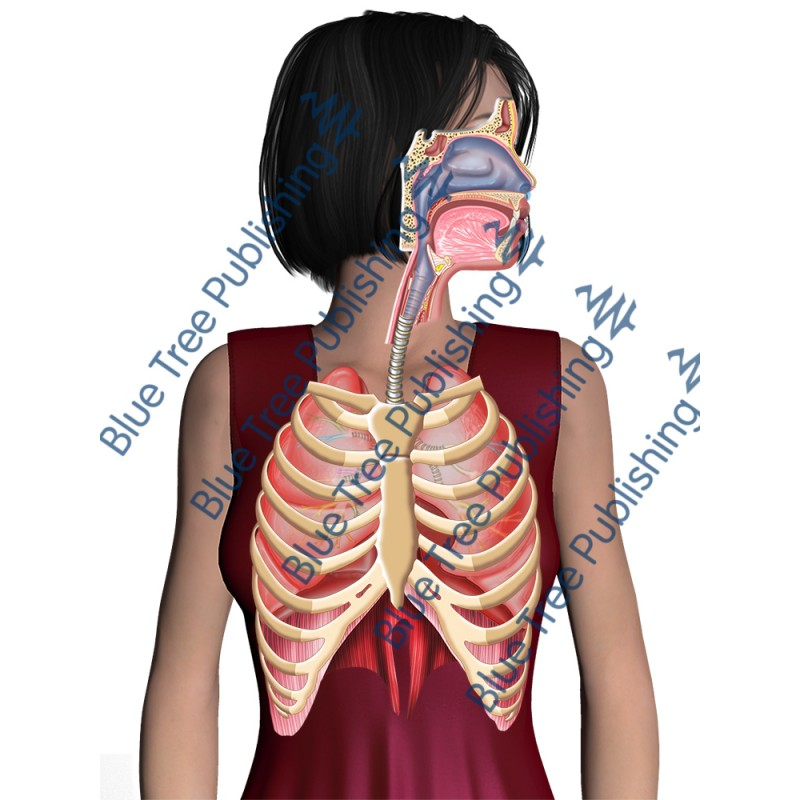 Respiration Breathe Ribs Body - Download Image