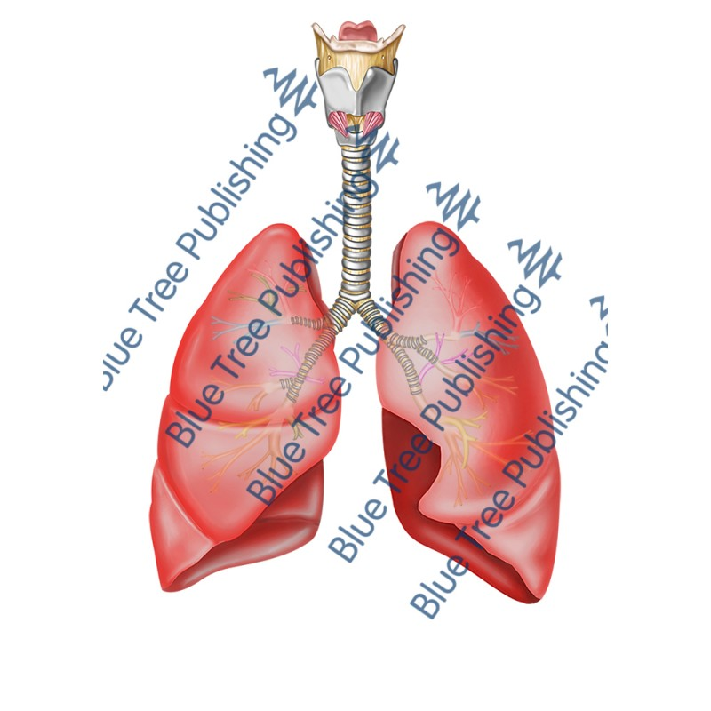 Respiration Lungs Front - Download Image