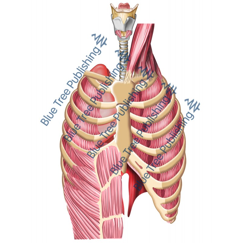 Respiration Lungs Muscle Rib Front - Download Image