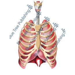 Respiration Lungs Rib Front - Download Image