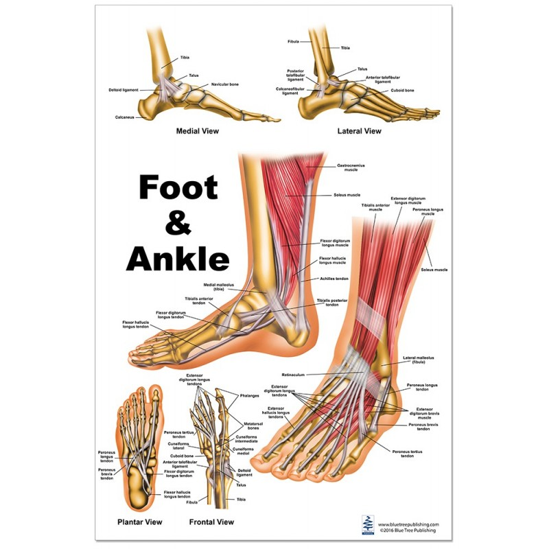 Foot and Ankle Regular Poster