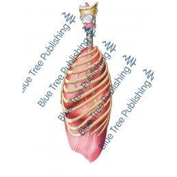 Respiration Lungs Rib Side - Download Image
