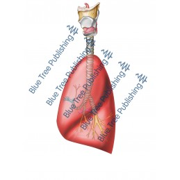 Respiration Lungs Side - Download Image
