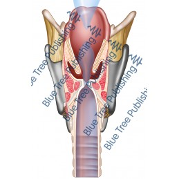 Respiration Voice Larynx Cut Back - Download Image