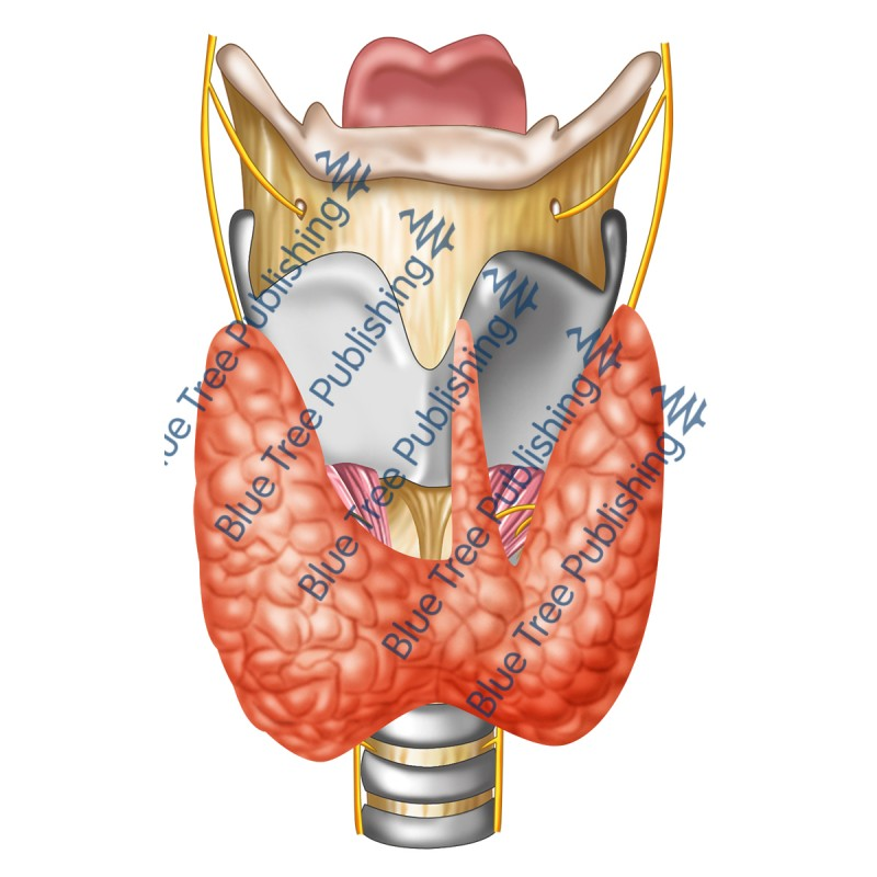 Larynx Front Nerves Thyroid View - Download Image
