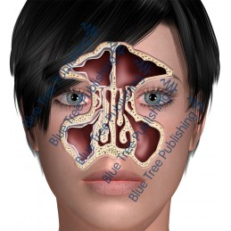 Sinus Front Normal - Download Images