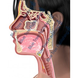 Sinus Side Normal  - Download Images