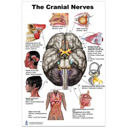Cranial Nerves Large Poster