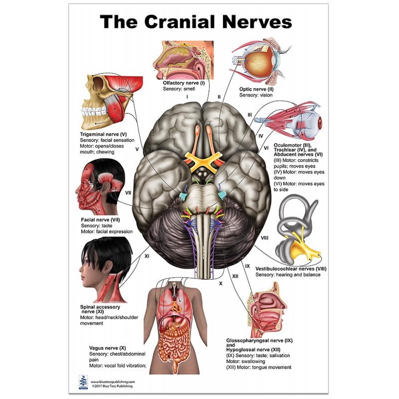 Cranial Nerves Large Poster