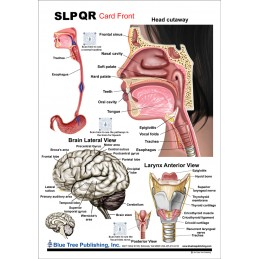 SLP Anatomical Chart