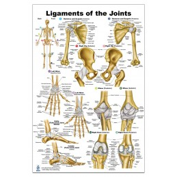 Ligaments of the Joints Large Poster