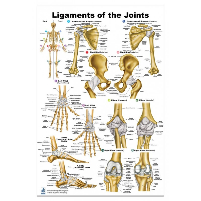 Ligaments of the Joints Medium Poster
