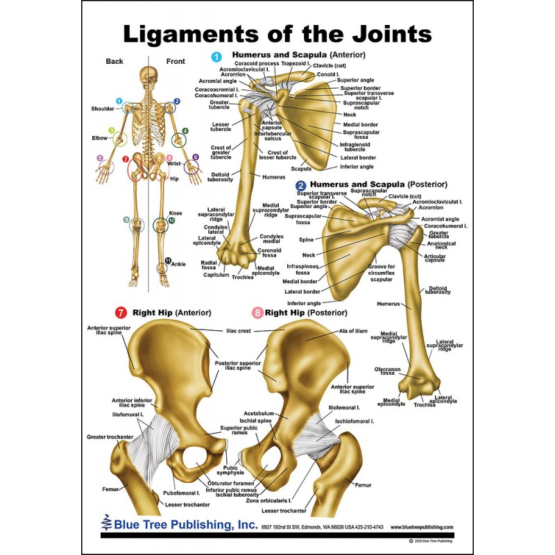Ligaments of the Joints Anatomical Chart front