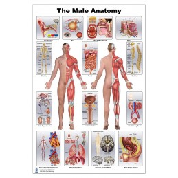 Male Anatomy Large Poster