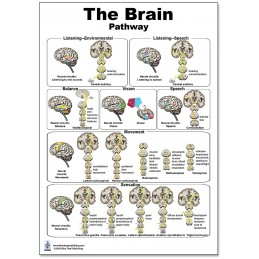 Brain Pathway Regular Poster