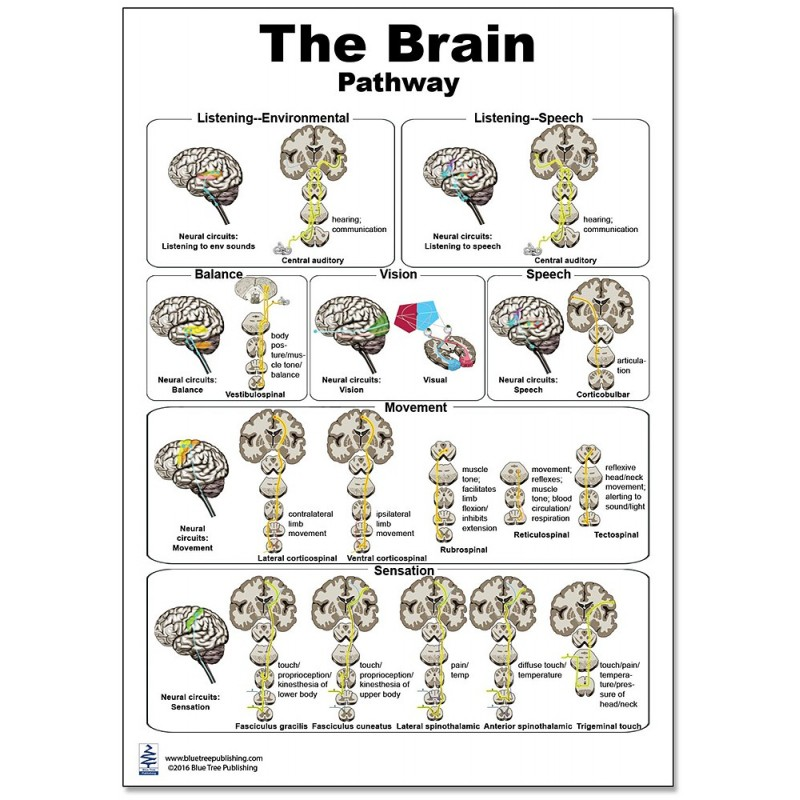 Brain Pathway Regular Poster