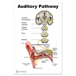 Auditory Pathway Large Poster