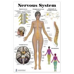 Nervous System Large Poster