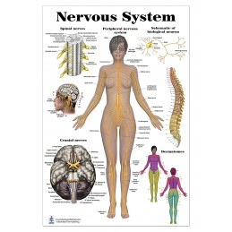 Nervous System Regular Poster
