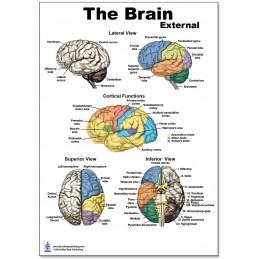 Brain External Regular Poster
