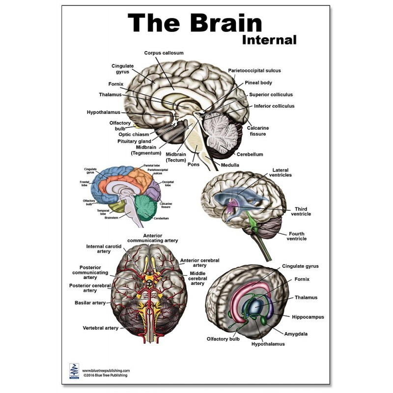 Brain Internal Regular Poster