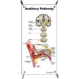 Auditory Pathway Small Poster with stand