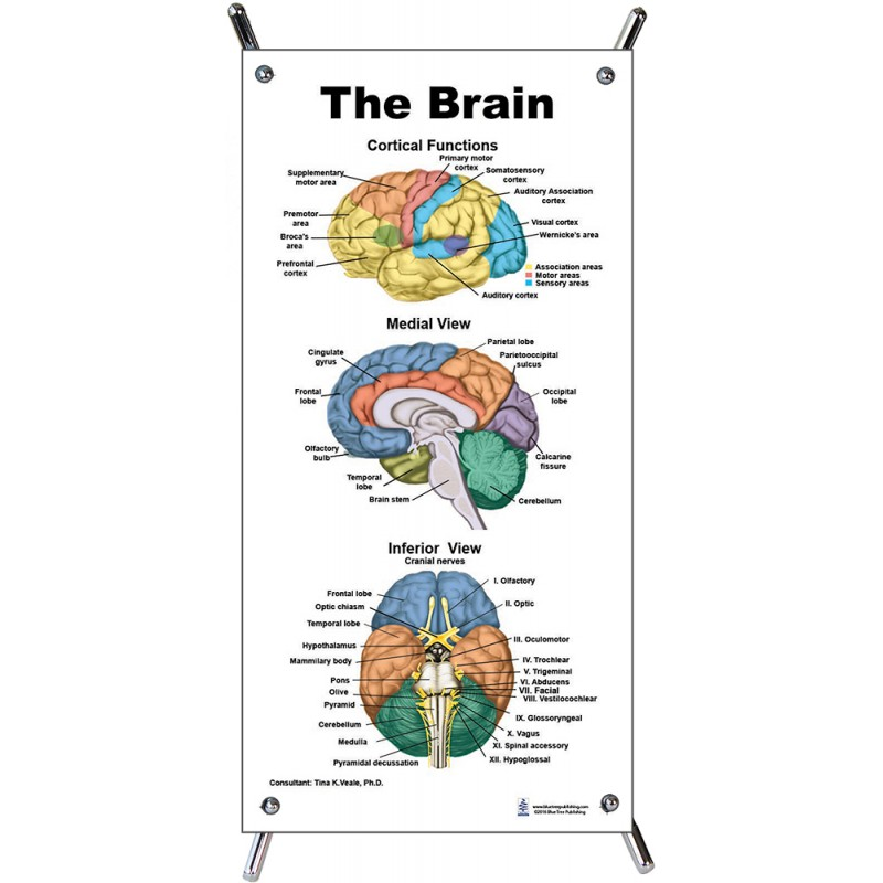 Brain Color Small Poster with stand