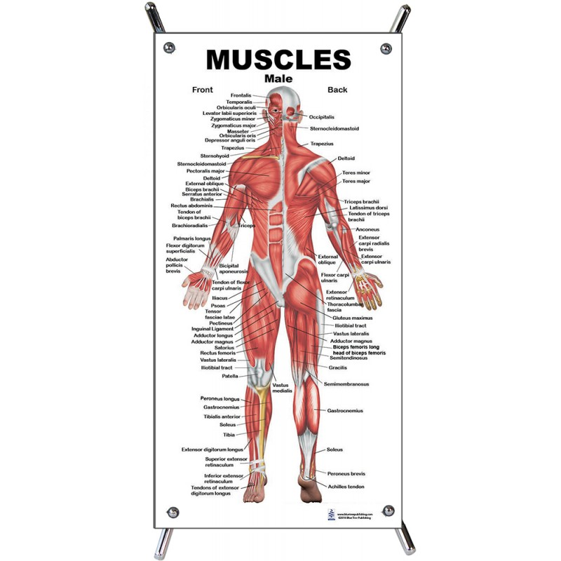 Muscles Male Small Poster with stand