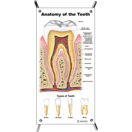 Teeth Anatomy Small Poster with stand