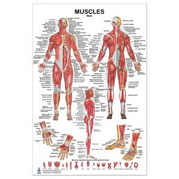 Muscles Male Large Poster