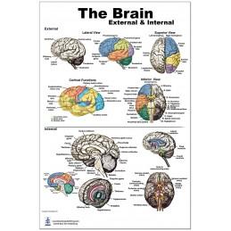 Brain External and Internal Medium Poster