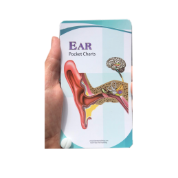 Ear Anatomy Pocket Charts