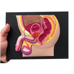 Male Pelvic Organ Mat Model