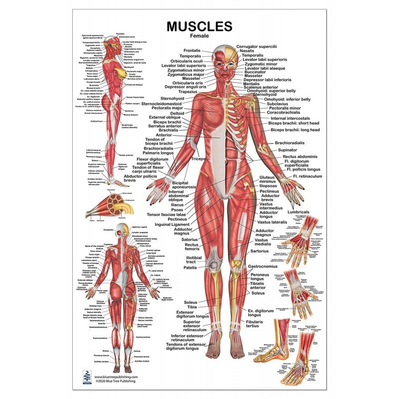Muscles Female Large Poster