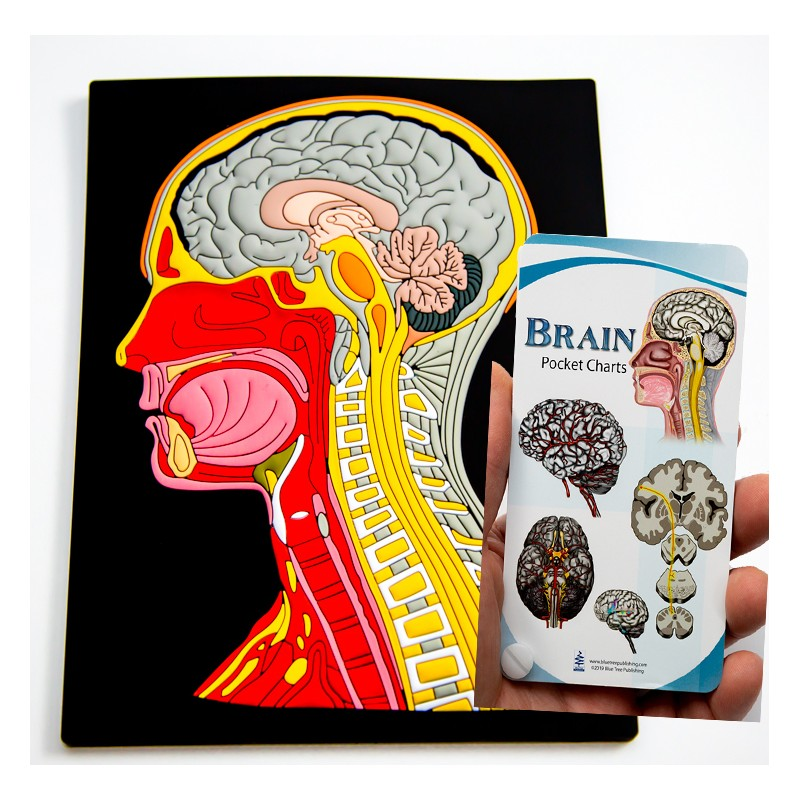 Head and Neck Mat Model with Brain Pocket Chart