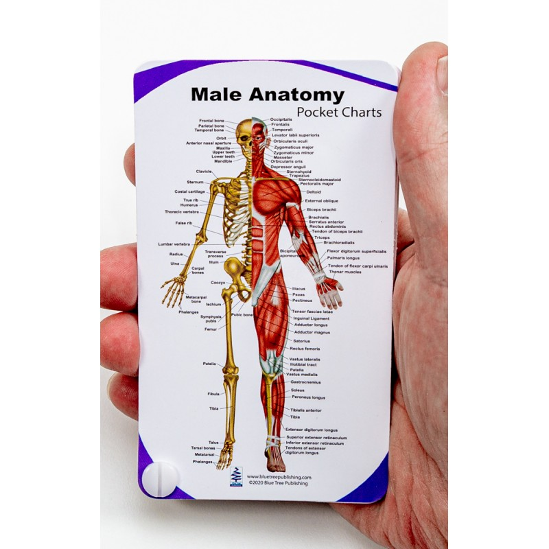 Male Anatomy Pocket Charts