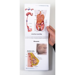 Female Anatomy Flip Chart breast and digestive system view