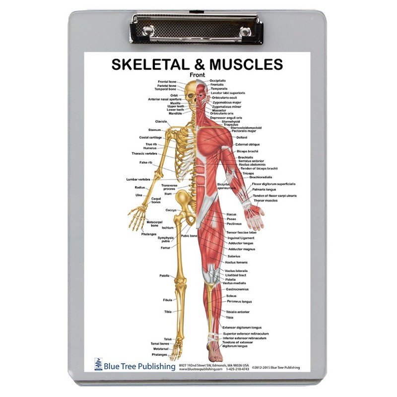 Muscle Anatomy and Skeletal Clipboard front
