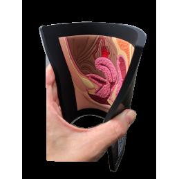 Female Pelvic Organs Mat Model flexible
