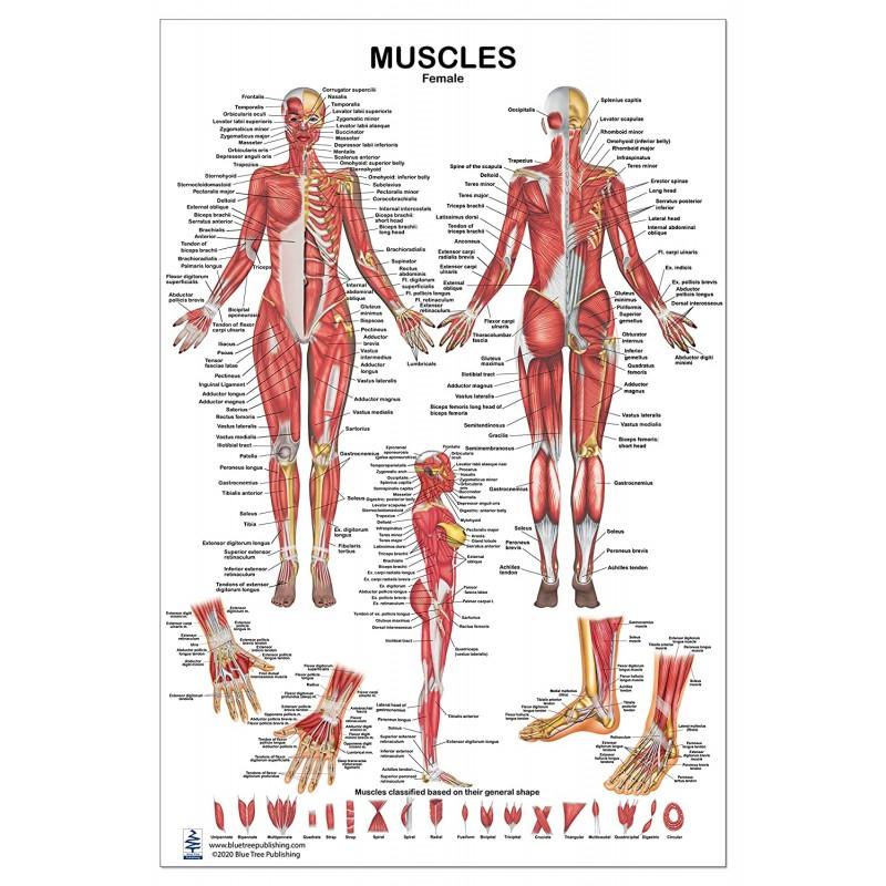 Muscles Female Regular Poster