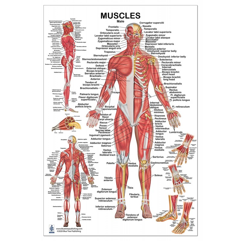 Muscles Male Regular Poster