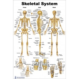 Skeletal System Regular Poster